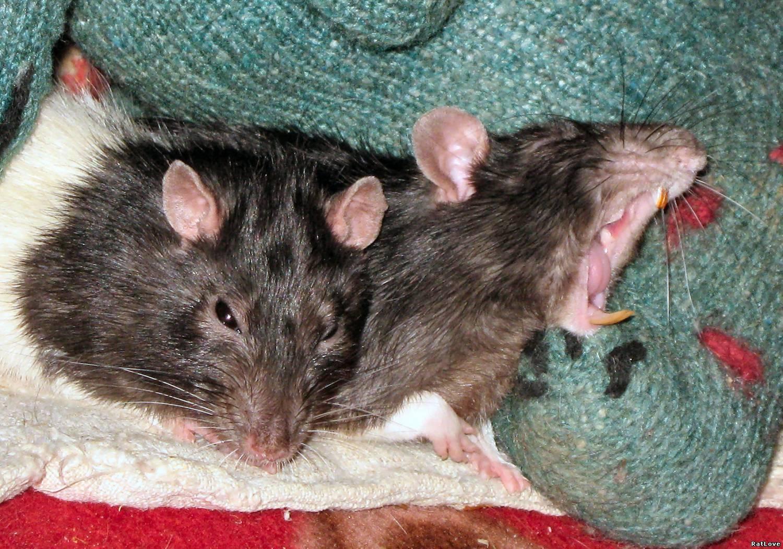 К чему снится мыши беременной 130